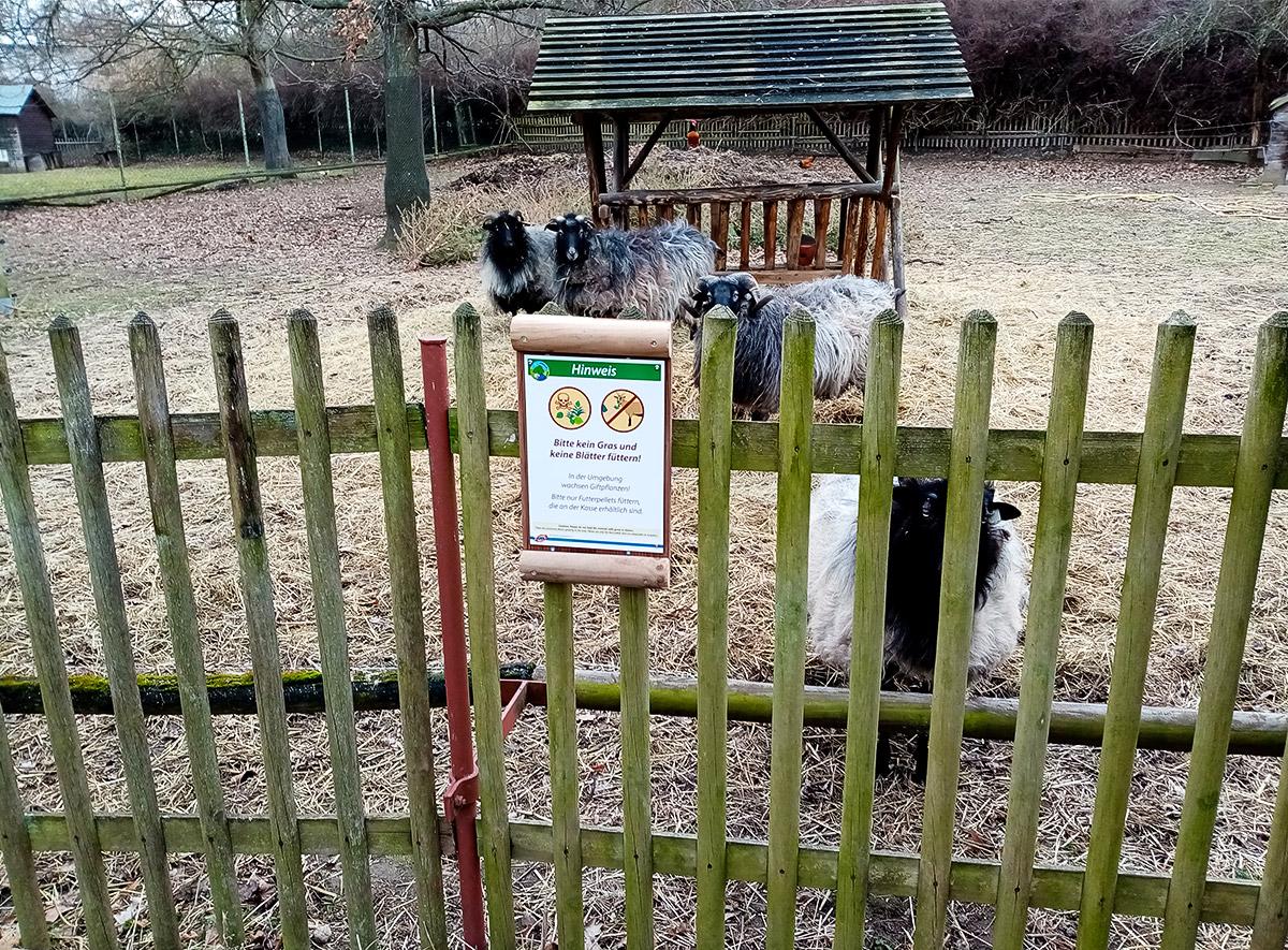 Beschilderung Tierpark Hebelei, Schild am Gehege, dahinter 4 Schafe